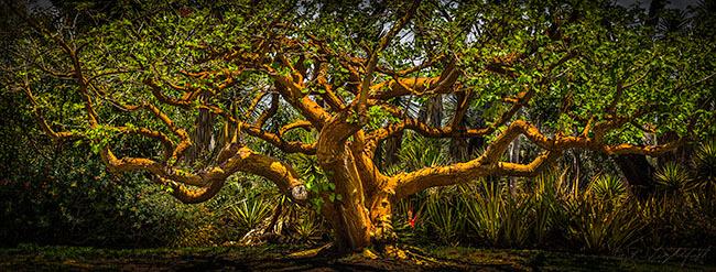 Balboa Park Tree 140524 121_2_3 2a 650w