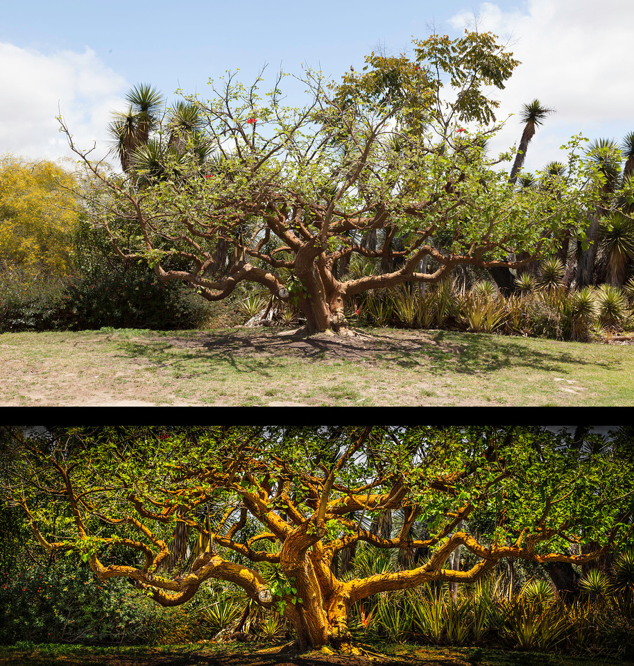 Balboa Park Tree 140524 121_2_3 3a Before & After 700w